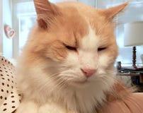 Schläfrige langhaarige Katze Stockfoto