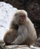 Schläfrige Mutter-Umarmungsschnee-Affe-Baby Lizenzfreie Stockfotografie