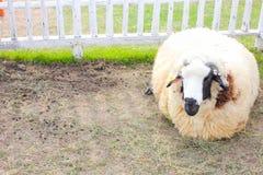 Schläfrige Schafe Lizenzfreie Stockfotos