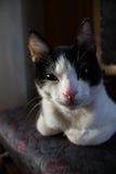 Schläfrige Schwarzweiss-Katze, die Kamera betrachtet Lizenzfreies Stockfoto