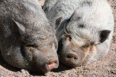 Schläfrige Schweine stockbilder