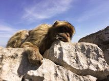 Schläfriger Affe auf dem Felsen Felsen von Gibraltar-Spitze Lizenzfreies Stockbild