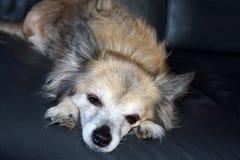 Schläfriger Chihuahuahund zwölf Jahre alt stockfotografie