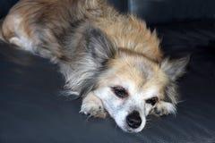 Schläfriger Chihuahuahund zwölf Jahre alt lizenzfreie stockfotografie