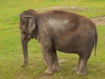 Schläfriger Elefant Stockfoto