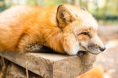 Schläfriger Fox Stockbild