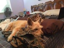 Schläfriger Hund Lizenzfreies Stockfoto