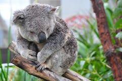 Schläfriger Koala, der auf einem Baumast in Australien, drittes Bild sitzt Lizenzfreie Stockfotografie