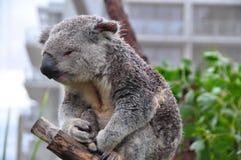 Schläfriger Koala, der auf einem Baumast in Australien, zweites Bild sitzt Lizenzfreies Stockbild