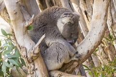 Schläfriger Koala in einem Baum, der einiges fängt, schloss Auge Stockbild