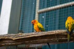 Schläfriger orange Sonne conure Papagei auf einem Baumast Stockfotos