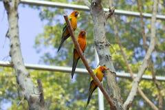 Schläfriger orange Sonne conure Papagei auf einem Baumast Stockfoto