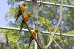 Schläfriger orange Sonne conure Papagei auf einem Baumast Stockfotografie