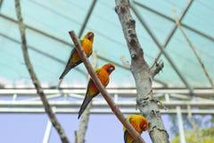Schläfriger orange Sonne conure Papagei auf einem Baumast Lizenzfreie Stockfotos