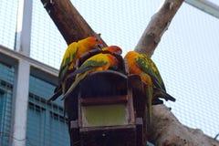 Schläfriger orange Sonne conure Papagei auf einem Baumhaus Stockfoto