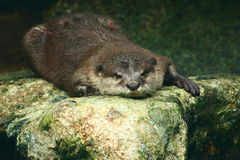 Schläfriger Otter Lizenzfreie Stockfotografie