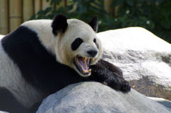 Schläfriger Panda Lizenzfreies Stockfoto