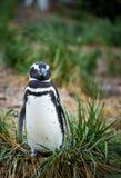 Schläfriger Pinguin Stockfotos