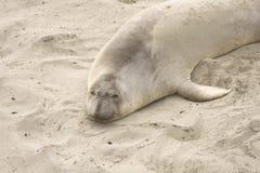 Schläfriger Seeelefant Lizenzfreie Stockfotos