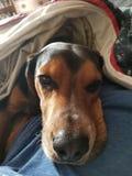 Schläfriger Spürhund lizenzfreie stockfotografie