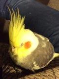 Schläfriger Vogel Stockbilder