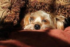 Schläfriger Yorkshire-Terrierhund Stockbilder