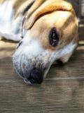 Schläfriges Gesicht des jungen Spürhundhundes lizenzfreies stockbild