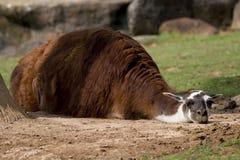 Schläfriges Lama Stockfotos