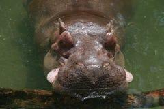 Schläfriges schläfriges Flusspferd Lizenzfreie Stockfotografie