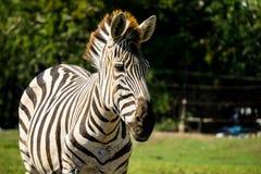 Schläfriges Zebraporträt unter schönem Tageslicht Lizenzfreie Stockfotografie