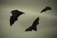 Schläger, die bei Sonnenuntergang fliegen Lizenzfreies Stockfoto