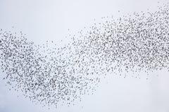 Schläger, die in gunung mulu Nationalpark fliegen Stockbild