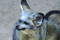 Schläger ohriger Fox Lizenzfreies Stockfoto