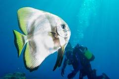 Schlägerfisch-Porträttauchen in Malediven Stockfoto