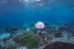 Schlägerfische Lizenzfreie Stockfotografie