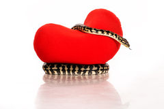 Schlängeln Sie sich, ein rotes Herz auf einem weißen Hintergrund umarmend Stockfotografie