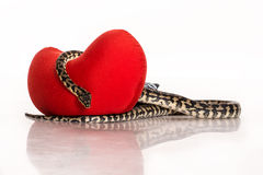 Schlängeln Sie sich, ein rotes Herz auf einem weißen Hintergrund umarmend Stockfoto