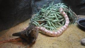Schlängeln Sie sich in Käfig am Dusit-Zoo- oder Khao-Lärm Wana-Park in Bangkok, Thailand stock video