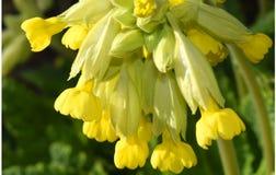 Schlüsselblume-Blüten-Primel Veris-Nahaufnahme Lizenzfreie Stockfotos