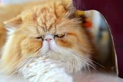 Schlaf der persischen Katze stockfotografie