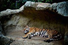 Schlaf-Tiger lizenzfreies stockbild