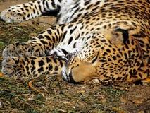 Schlafen auf einem Kettenleoparden Stockbild