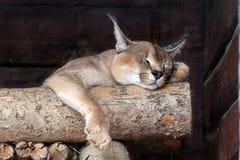 Schlafen caracal Lizenzfreies Stockbild