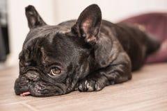 Schlafen der französischen Bulldogge lizenzfreies stockbild
