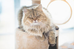 Schlafen der persischen Katze Stockfotos