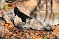 Schlafen Der Riesigen Schildkrote Stockfoto Bild Von Auge
