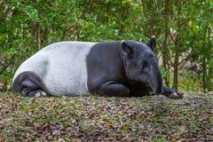 Schlafen des malaiischen Tapir Stockfoto