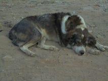 Schlafen des streunenden Hundes stockbild