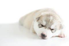 Schlafen des Welpensibirischen huskys Stockbilder