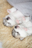 Schlafen des Welpensibirischen huskys Stockbild